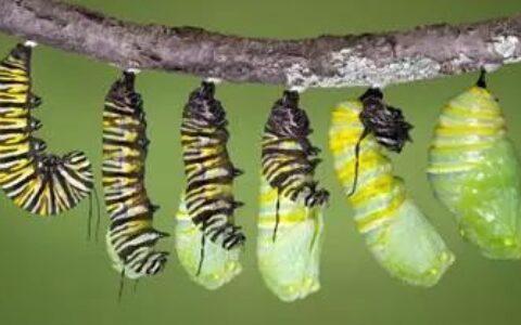 毛毛虫是如何长成蝴蝶的